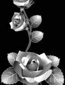 3 Розы строгие