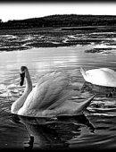 10   Два Лебедя