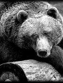 5   Медведь
