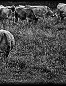 58   Коровы Пасутся