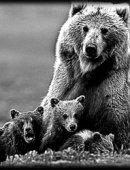6   Медведица С Медвежатами