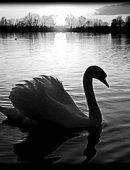 7 Лебедь Одинокий