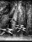 8  Лебеди В Полете