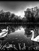 9   Лебеди